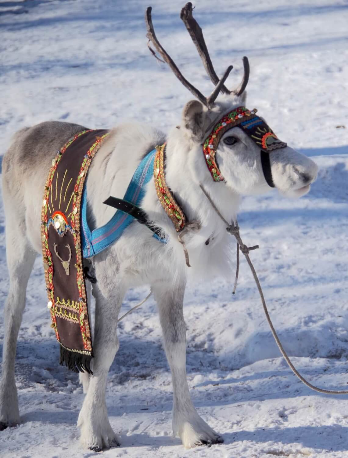 Reindeer calve, decorreted with Eveny traditional ornamentation for annual reindeer festival.