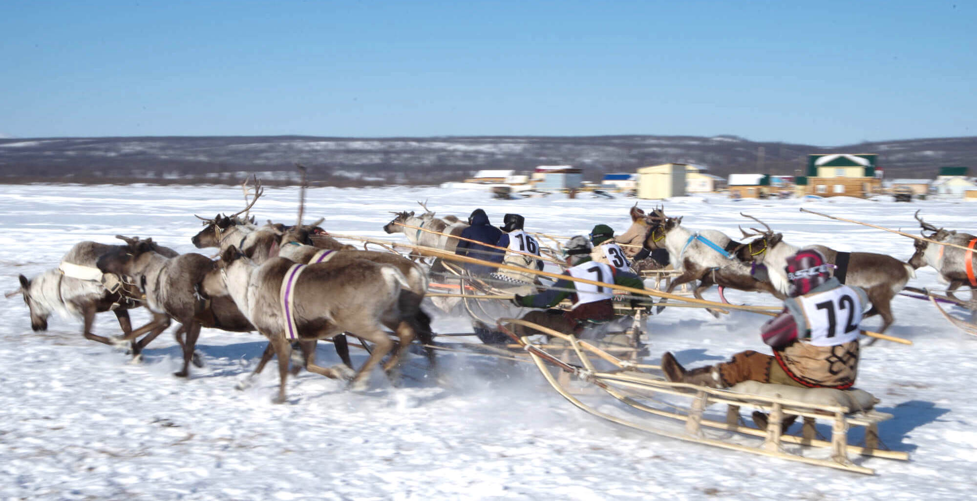 Reindeer race in the village during the festival