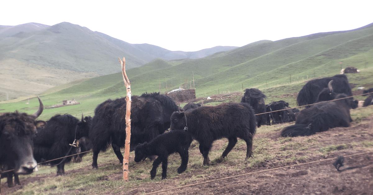 Ethnographic study: yaks research data