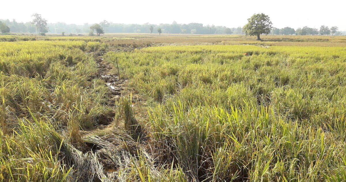 crops trampled by elephants